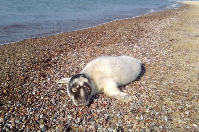 Участились случаи выхода тюленей на берег Балтийского моря.