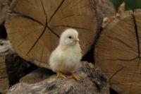 Всего до июля выдадут почти 700 тыс. цыплят.