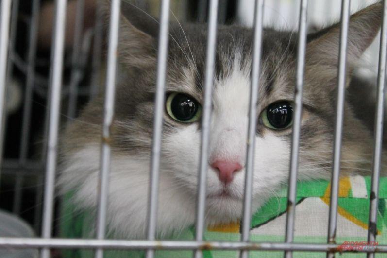 Кроме породистых котов на выставке пермяков ждут кошки из приюта. Все они мечтают о новом хозяине