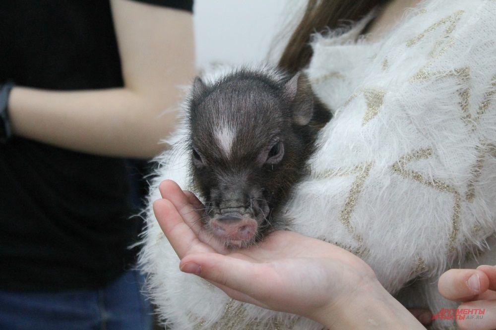 Свинка породы Мини-майялино пока немногим меньше кота. Она еще подрастёт, но не намного