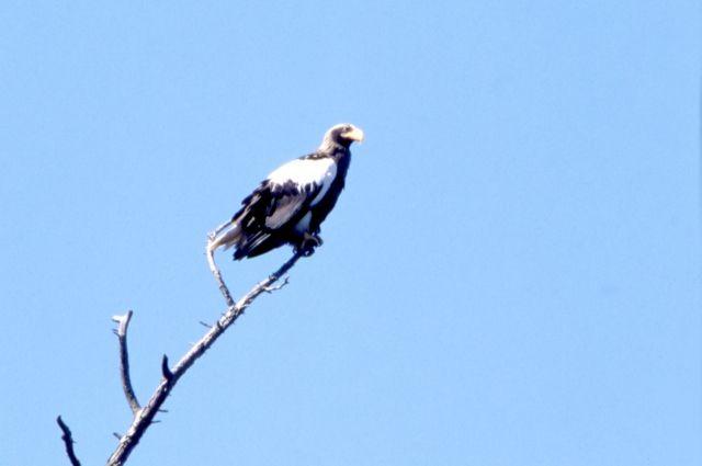 ВПермский зоопарк привезли пару белоплечих орланов из столицы