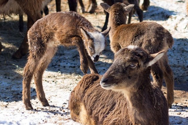 новорожденные ягнята в барнаульском зоопарке