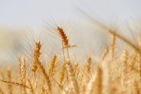 В Омске собрали рекордный урожай зерна, который до сих пор пытаются сбыть.