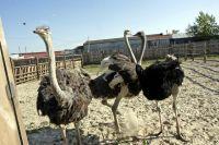 Разведением страусов хозяйка фермы Наталья Демченко занялась девять лет назад.