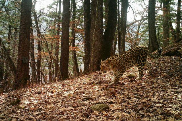 Редчайших напланете кошек стало больше на«Земле леопарда»
