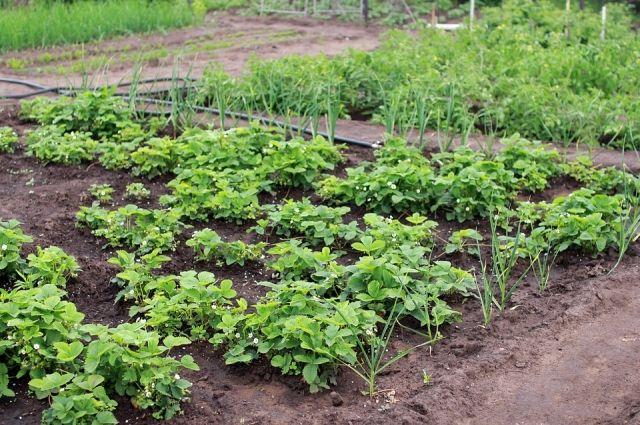 Сидераты помогут насытить землю азотом, фосфором и калием.