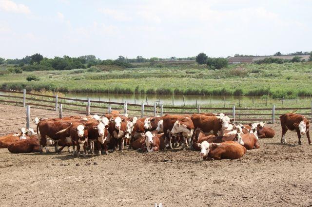 Одна из главных задач АПК края – дальнейшее развитие животноводства.