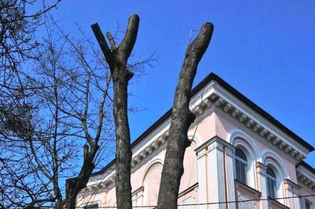 Мэрия Калининграда признала незаконной обрезку кленов на Комсомольской.
