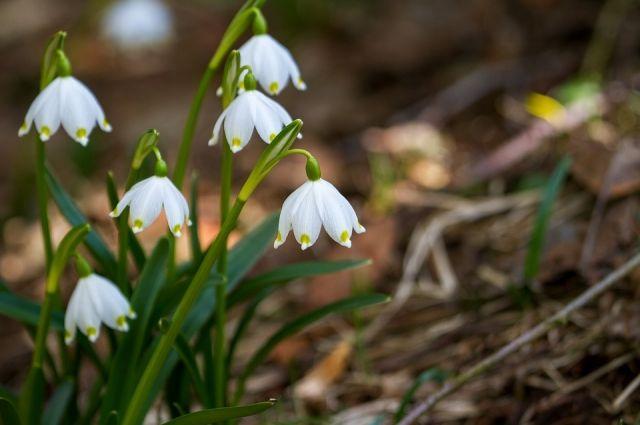 На Алтае распустились цветы первоцвета, значит весна всё-таки пришла!