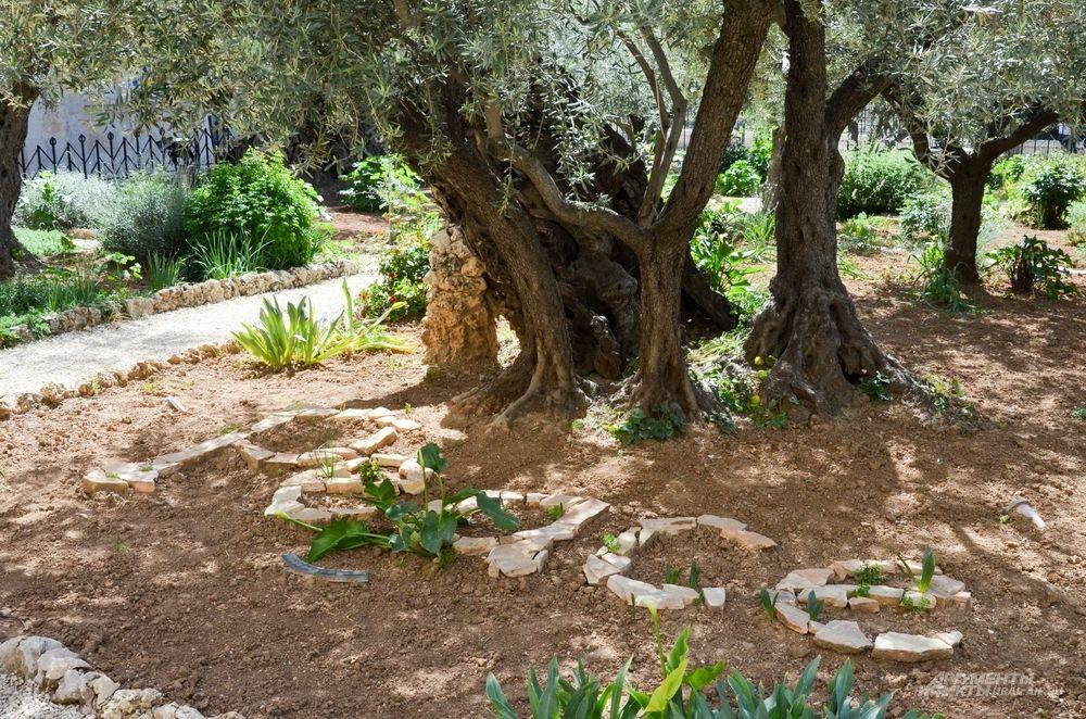 Гефсиманский сад в Иерусалиме.