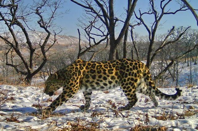 Самке дальневосточного леопарда юзеры  сети выбрали имя&nbsp