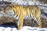 Эта тигрица сильно беспокоила жителей Алексей-Никольского.