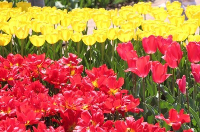 «Парад тюльпанов» в Никитском ботаническом саду. Апрель 2018.