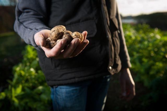 Тюменец хотел купить картошку по Интернету и остался без денег