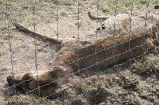 Прокуратура выявила нарушения на ферме, где умерли 12 оленей.