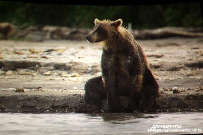 На Камчатке медвежата живут с мамой до трёх лет.