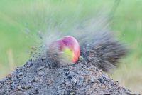 Выстрел по яблоку из пневматической винтовки.