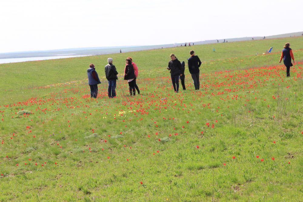 Гости фестиваля в сопровождении экскурсовода полюбовались удивительно красивым природным явлением – цветением тюльпанов и запечатлели на фотоаппарат это степное великолепие.