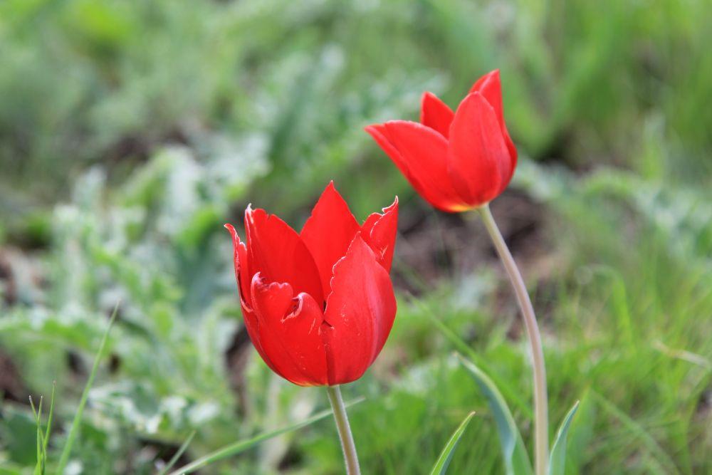 По степи медленно разливается море свежей зелени. То там, то тут загораются первые яркие огоньки весенних цветов. А затем одним днём всё видимое пространство покрывается великолепием красок — это распускаются тюльпаны и ирисы.