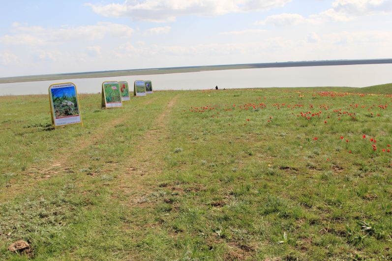 Экологическая тропа. Одно из чудес природы сохранилось в Ростовской области на озере Маныч, это - самая крупная в нашей стране популяция диких тюльпанов.