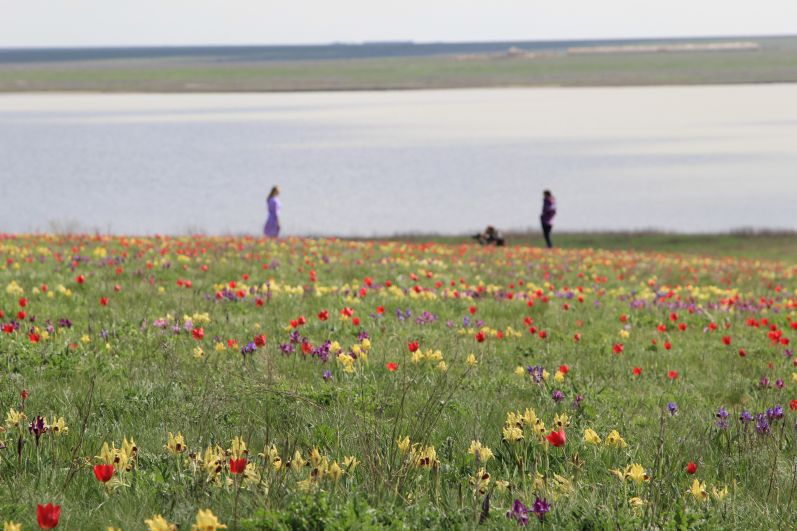 Степь удивляет своей бескрайностью, наполняет душу волнующей гордостью. Она, конечно же, прекрасна в любое время года, но особенно волшебна она весной, когда расцветают степные тюльпаны и ирисы – гордость Донского края!