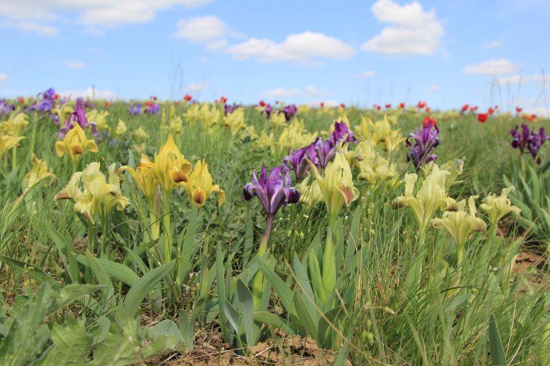 На экологической тропе «Лазоревый цветок» массовые цветения степных тюльпанов и ирисов.