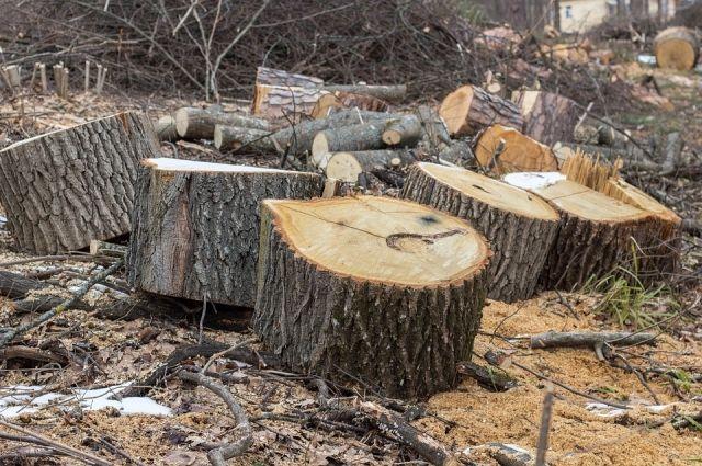 В центре Тюмени вырубили сотни тополей