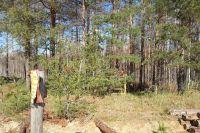 """""""Чёрные лесорубы"""" орудуют в Тарском районе не первый год."""