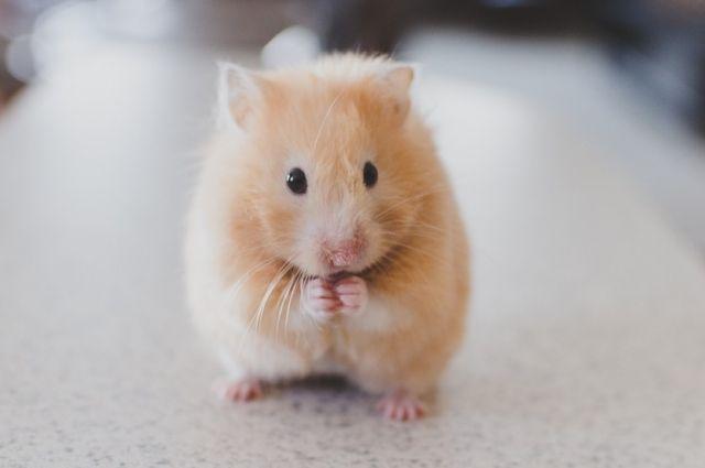 Домашние грызуны подвержены множеству заболеваний.