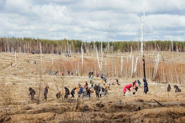 Наворонежском Кожевенном кордоне высадили 20 тыс. сосен