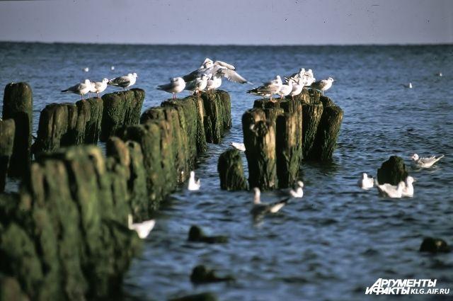 Очевидцы сняли видео купания бобра в Балтийском море.