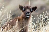 Новорожденный оленёнок.