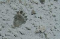 Во дворе хозяин усадьбы нашел следы медведя