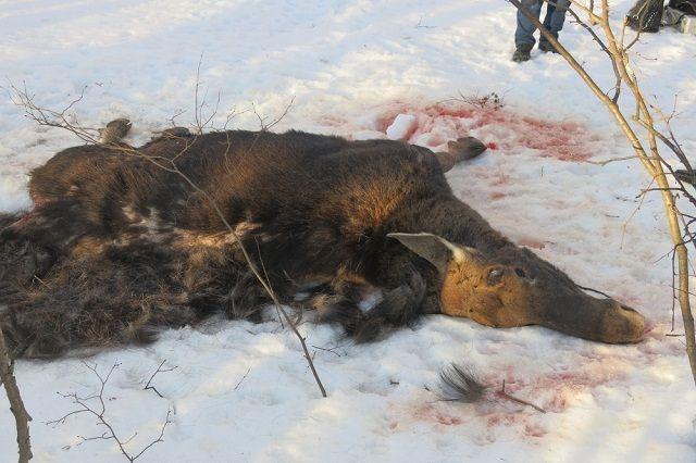 В результате незаконных действий, указанных лиц, охотничьим ресурсам Российской Федерации причинен ущерб на сумму 480 000 рублей.