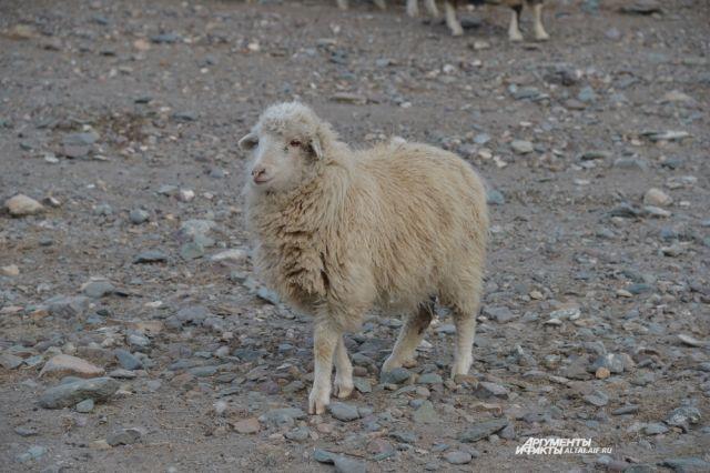 Калининградский фермер подал в суд на хозяина баранов, вытоптавших посевы.