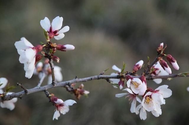 В калининградском парке «Южный» высадят 60 деревьев миндаля.