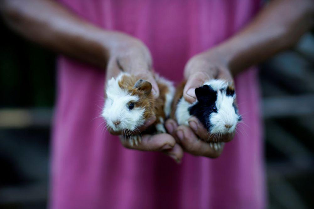 Фермер показывает новорожденных домашних морских свинок в Санто-Доминго, Куба.