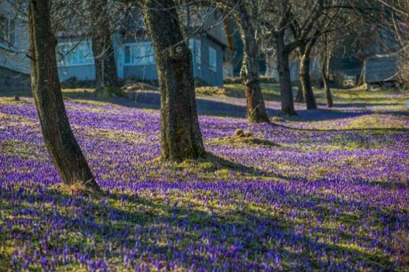 Начнем мы наш импровизированный тур по цветущей Украине с тех цветов, которые первыми начинают цвести весной - это крокусы. Именно их фиолетовые цветки можно увидеть на склонах Карпат уже в конце марта. Но больше всего их цветет в селе Колочаве, Межигорского района Закарпатской области. Кстати, фиолетовая долина находится прямо возле заповедного озера Синевир.