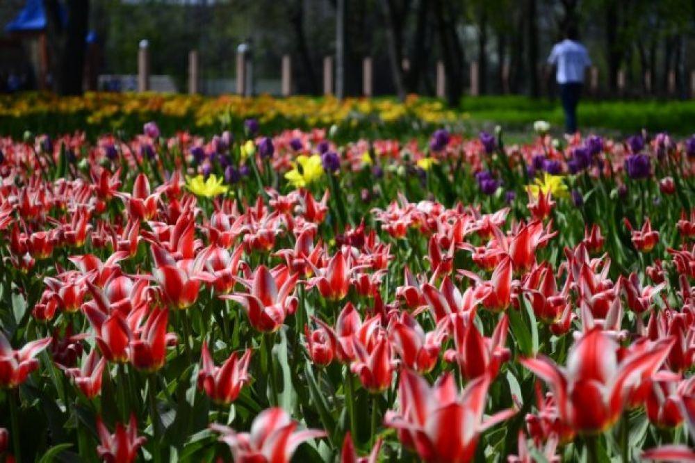 """Вырвемся на минуту из Карпат и перенесемся в Кировоградскую область. Здесь, в дендропарке Кропивницкого, уже долгие годы радуют туристов разные цветы. Но главными """"звездами"""" являются тюльпаны."""
