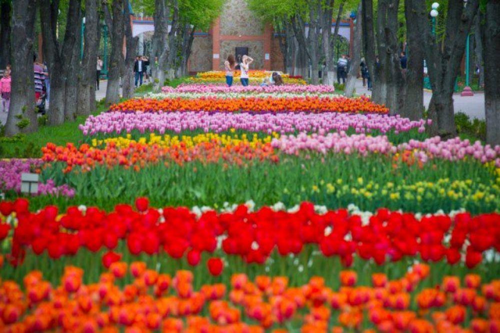 """Тюльпаны тут - главная мекка для туристов. Разных оттенков, размеров, сортов - все они поражают своей яркостью и запахом. Эту долину в дендропарке называют """"уголком Голландии"""". Действительно - семена многих тюльпанов, цветущих здесь, привезены в подарок от голландских друзей."""