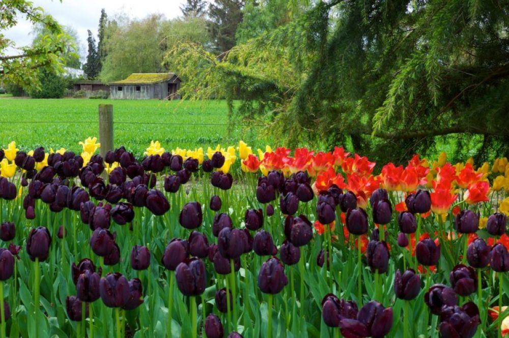 """По признаниям """"хозяйки долины"""" Мирославы, они с мужем работали в Голландии и по возвращению в Украину они решили создать свою """"мини-Голландию"""" на месте. Труд, кропотливый и тяжелый, окупился сполна, лишь только вся долина была усеяна разноцветными тюльпанами различных цветов и сортов."""