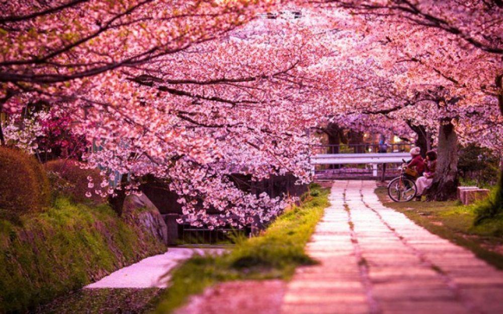 Сакура рассажена по всему городу, но больше всего ее на набережной реки Уж. Сказка в Ужгороде начинается в середине апреля, когда вначале зацветает сакура, затем магнолии, айва и многие другие растения, которые растут в городе.