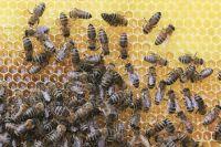 Пчёлы особенно уязвимы для болезней после зимовки.