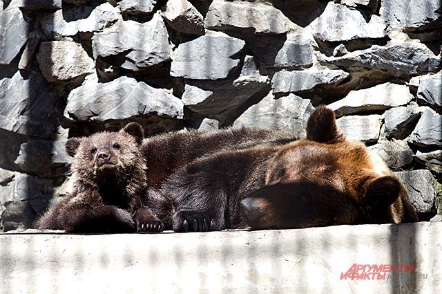 Медвежата уже подросли и могут играть и резвиться.