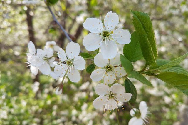На улицах города появятся сибирские яблони.