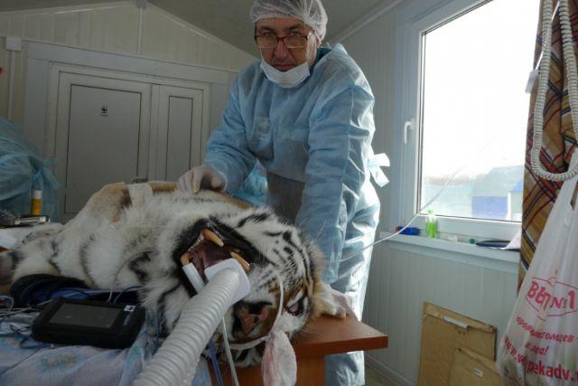 Павел Фоменко следит за состоянием раненого зверя.