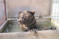 На новом месте питомец Павла Кудри - медведь Егор - обжился и уже регулярно принимает водные процедуры.