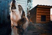 Хозяин приезжает раз-два в неделю, чтобы покормить собаку. Всё остальное время она гуляет по двору, непривязанная и без намордника.