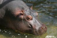 В зоопарке Калининграда в вольере бегемотов появится смотровая площадка.