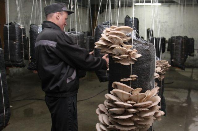 Выращиванием грибов занимаются осужденные.